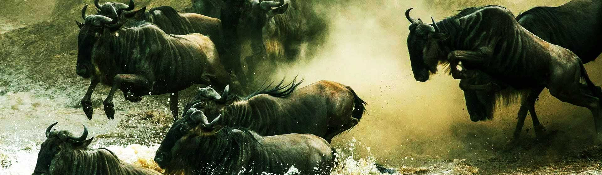 Wildebeest Migration Safaris